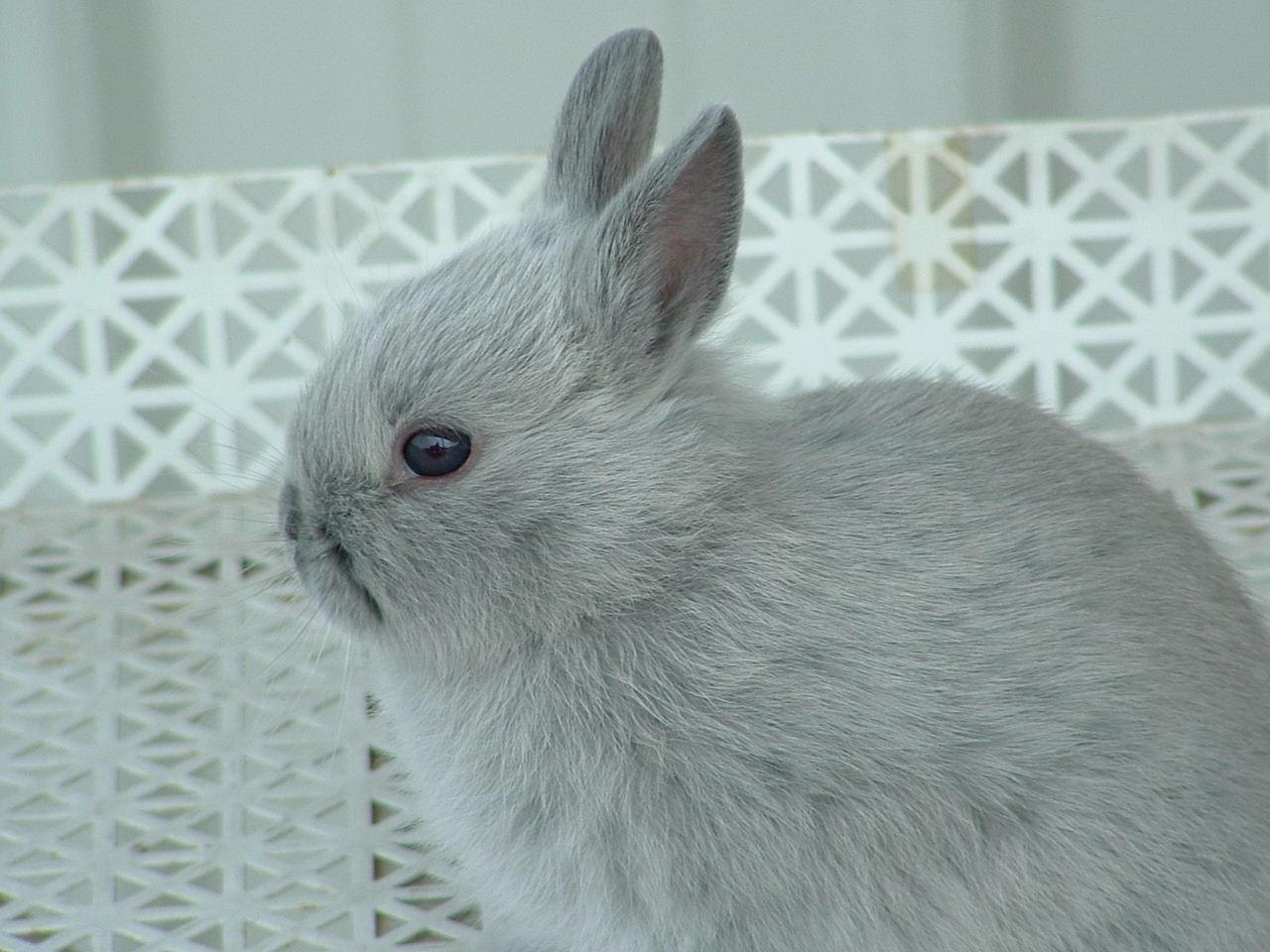 Netherland Dwarf Rabbits Ramblings From Jewels